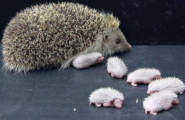 Hedgehog mom with her babies...