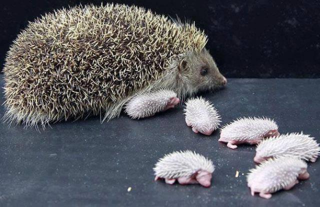 Hedgehog mom with her babies...