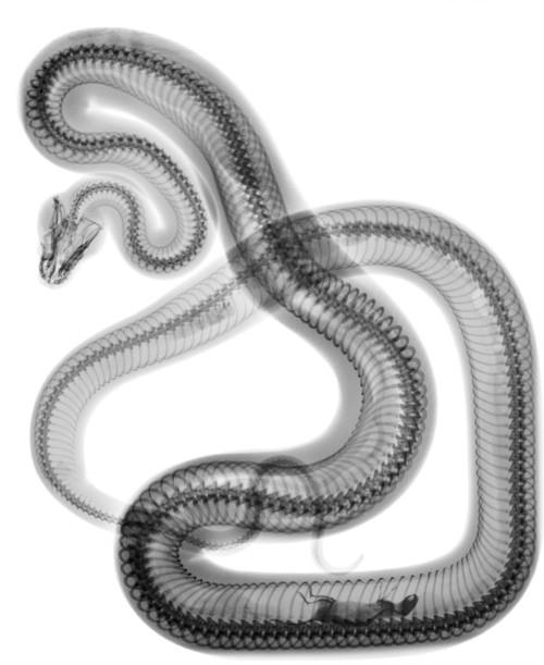 X-ray of snake and mouse inside