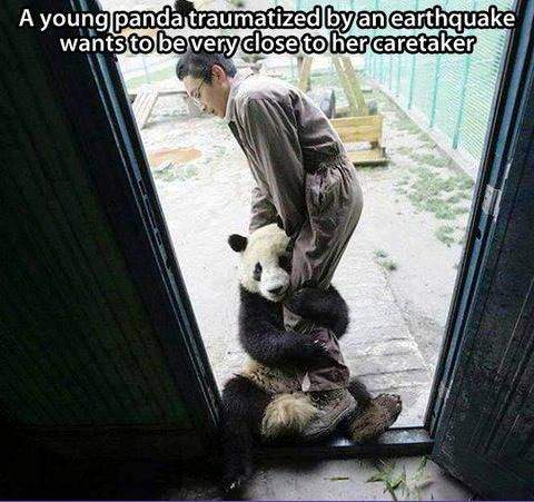 A young panda traumatized by an earthquake wants to be close to her caretaker