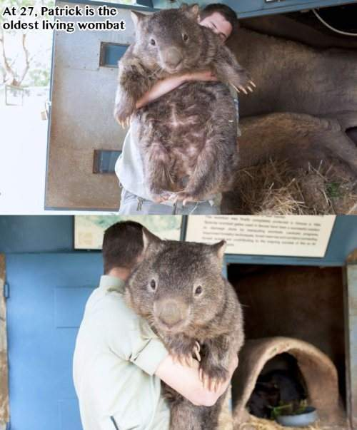 At 27, Patrick is the oldest living wombat.