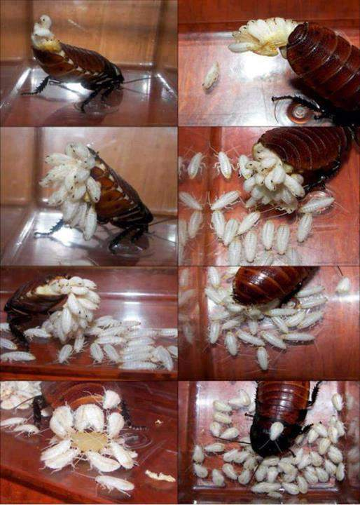 Birth Of Cockroaches
