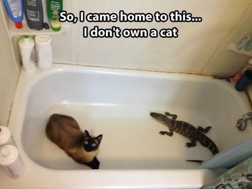 Cat and the alligator