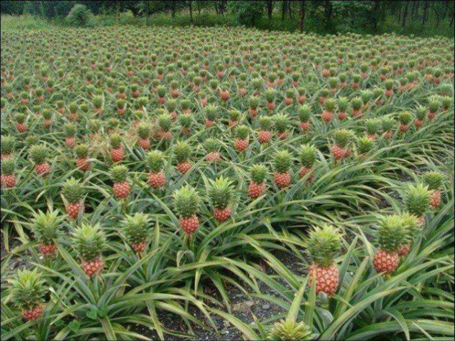That awkward moment when you thought Pineapples grew on trees