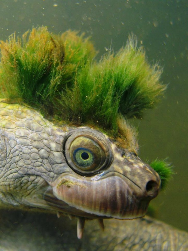 Mary River Turtle with a growing algae mohawk.