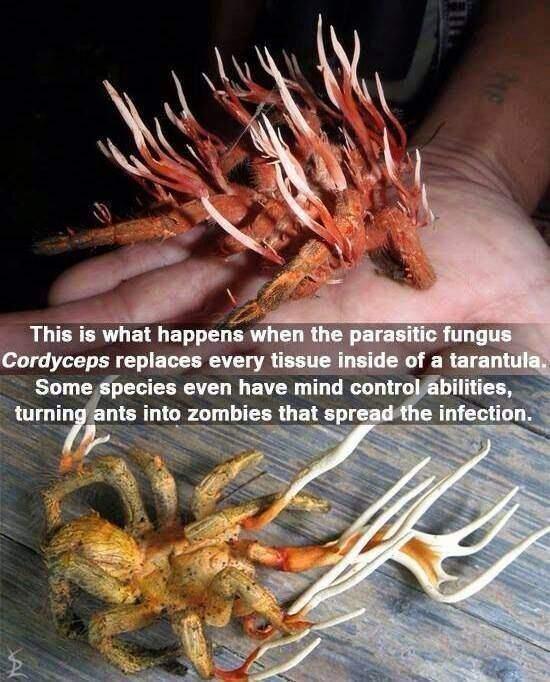 Parasitic fungus Cordyceps replace every tissue inside of a tarantula