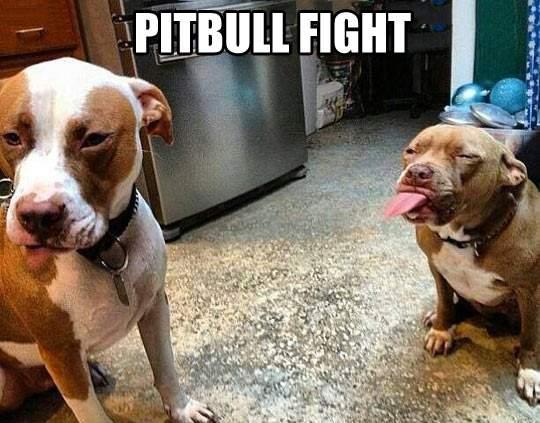 Pitbull Fight!