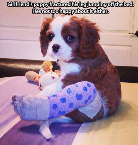 Puppy fractured his leg jumping off the bed.