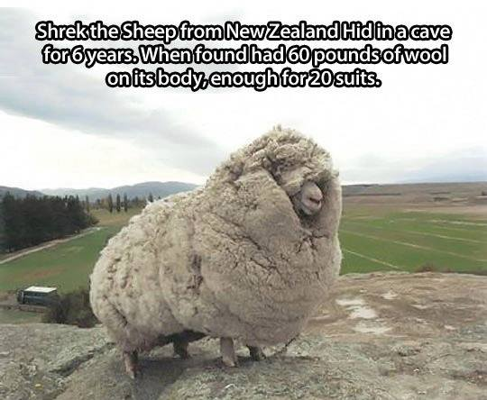 Shrek the Sheep from New Zealand !