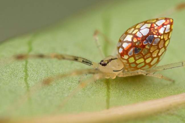 The Australian STAINED-GLASS MIRROR SPIDER