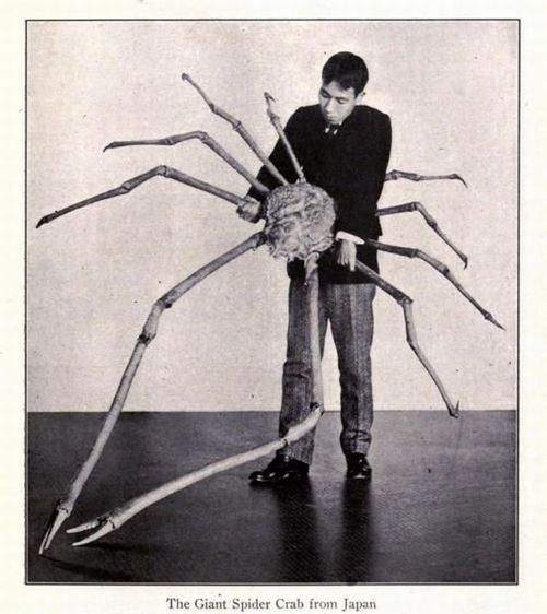 The Giant Spider Crab from Japan