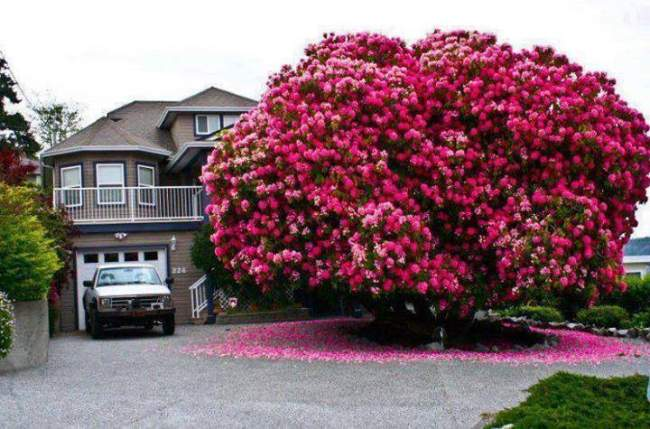 This is a Rhododrendon Tree.