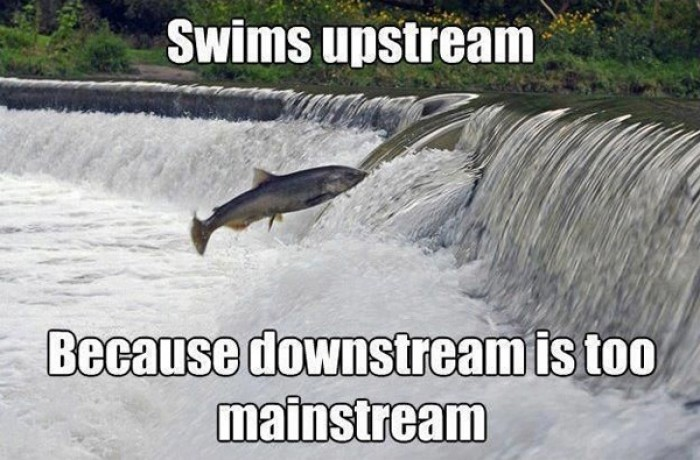 Swims upstream because downstream is too mainstream