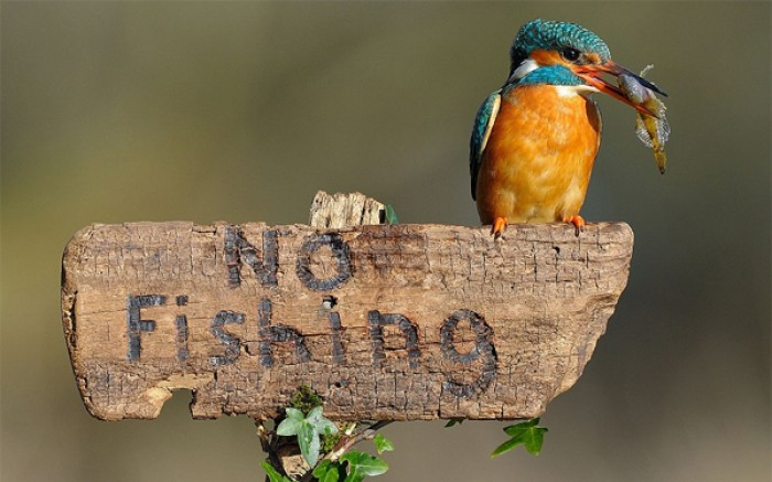This cheeky kingfisher showed a blatant disregard for the rules when it was caught on camera...