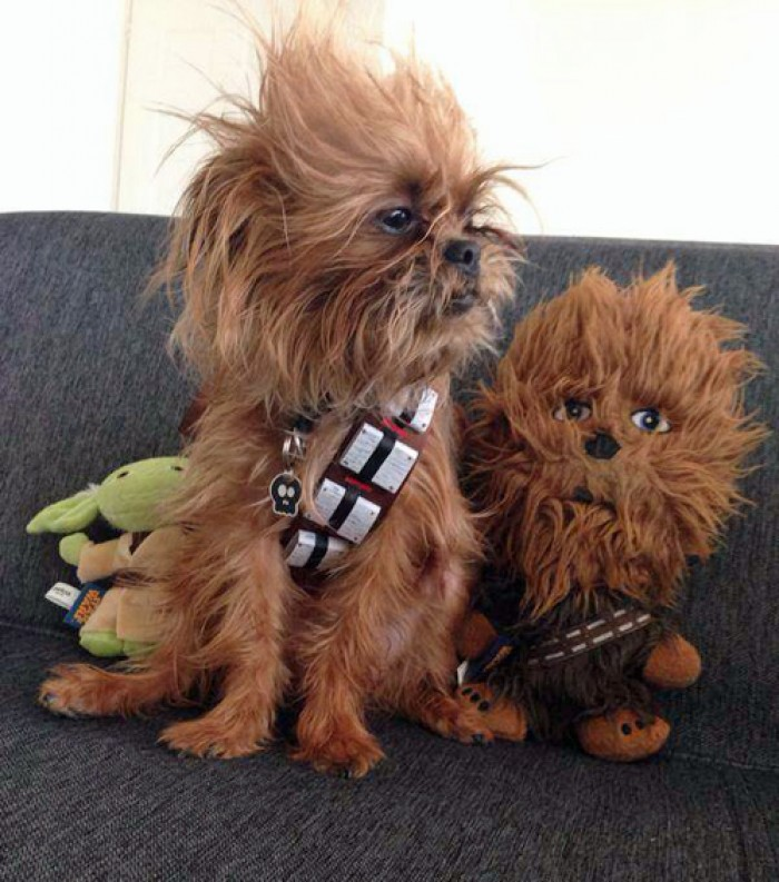 This Chewbacca Star Wars Dog Is So Cute!
