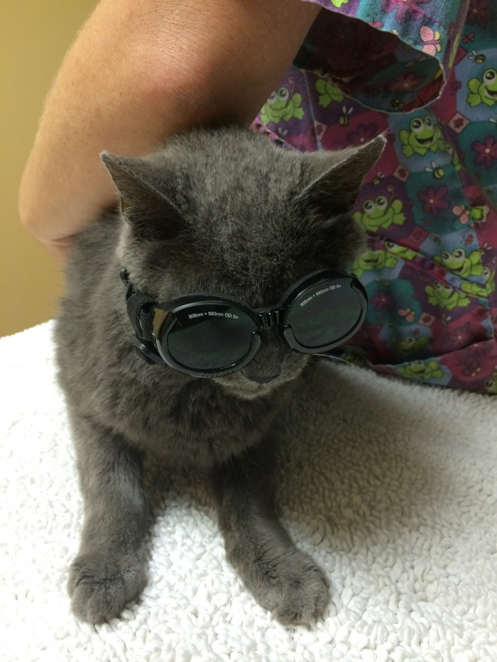Cat getting ready for laser surgery