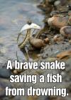 A brave snake saving a fish from drowning.